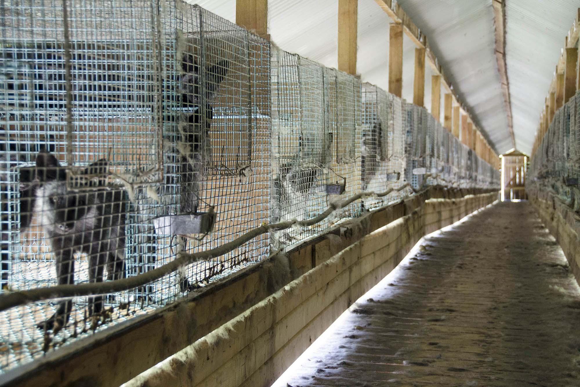 pelsdyr i bur, foto Dyrebeskyttelsen Norge