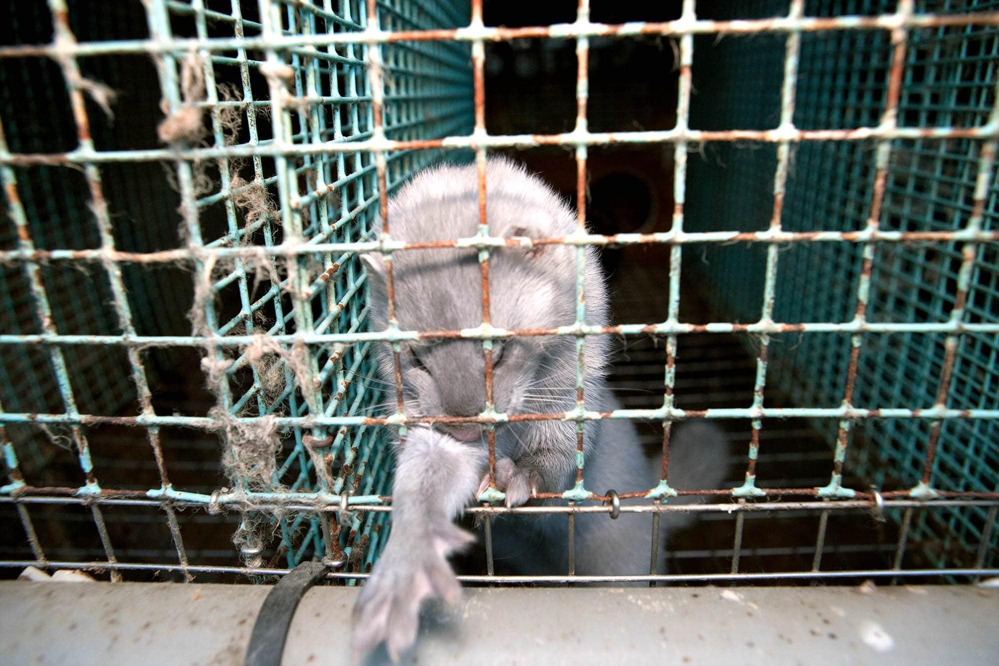 Mink i bur 2010.