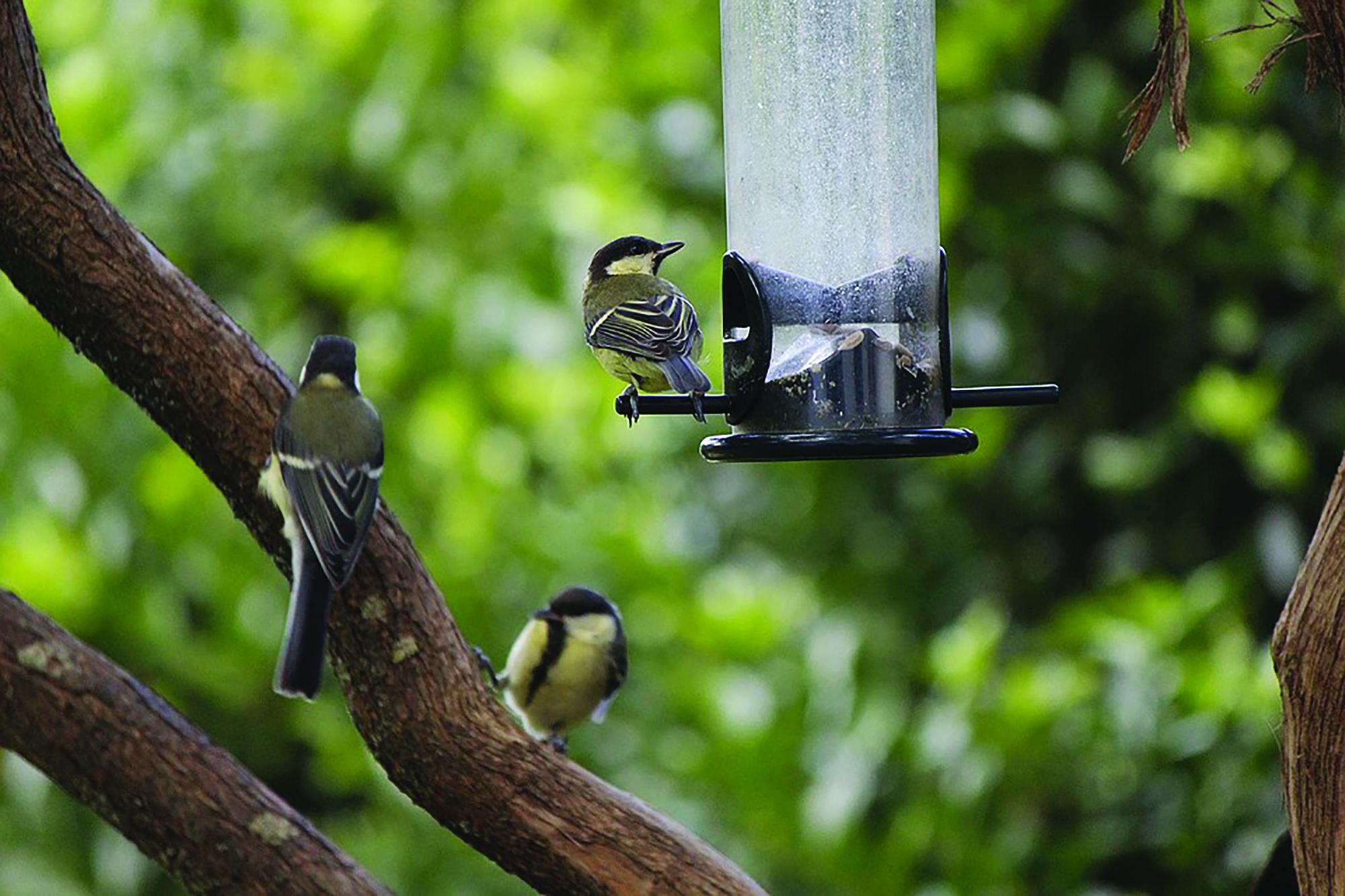 Fugler på fuglebrett. Foto: Pixabay.